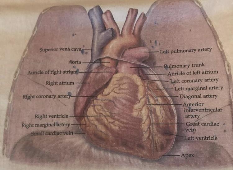 Anatomical Chart Co The Heart T-Shirt Close Up